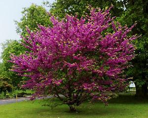 arbre de judée 1