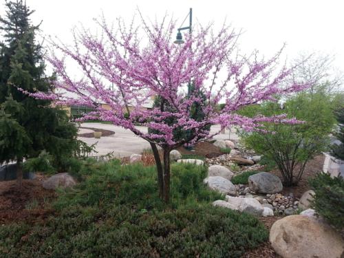 arbre de judée 3